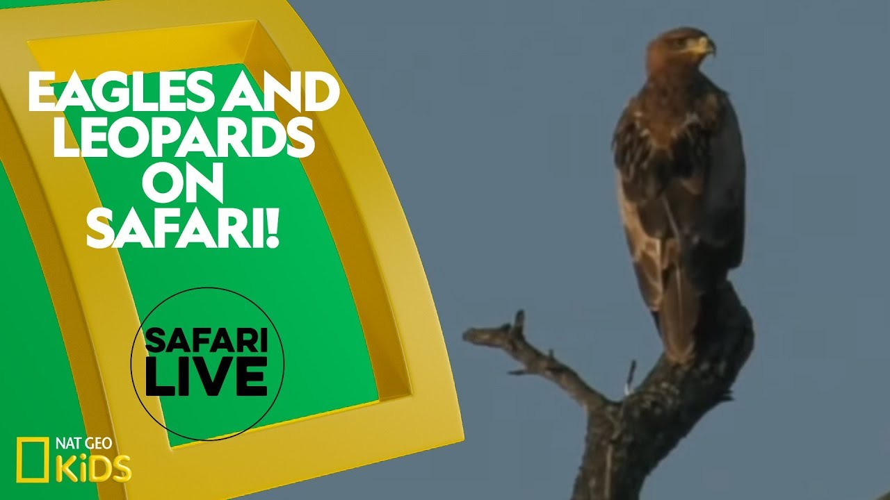 Eagles and Leopards on Safari! | Safari Live