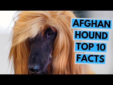 Afghan Hound - TOP 10 Interesting Facts