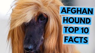 Afghan Hound  TOP 10 Interesting Facts