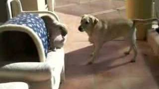Dog And Cat Fight,labradorretriever Vs Burmese