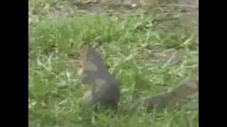 The Hampster Dance with Squirrel Clip