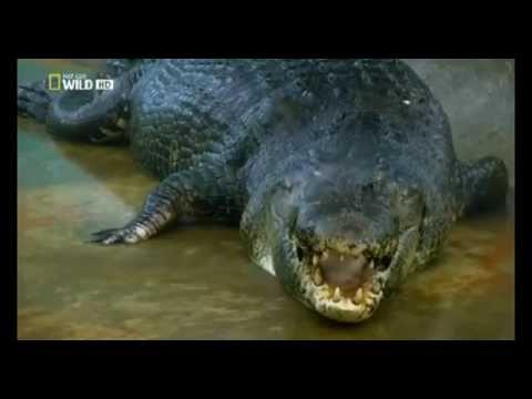 Kinh hoàng bắt được cá sấu khổng lồ dài hơn 6m
