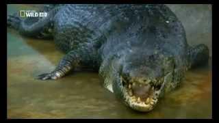 Phim Viet Nam | Kinh hoàng bắt được cá sấu khổng lồ dài hơn 6m | Kinh hoang bat duoc ca sau khong lo dai hon 6m