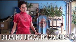 Growing Dracaena Marginata