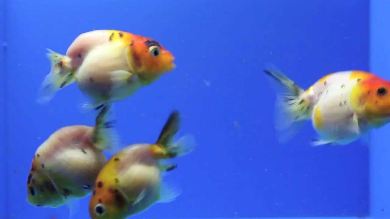 Sold ranchu goldfish for sale ag3 youtube for Gold fish for sale