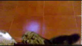 Кошка Жужа кидается