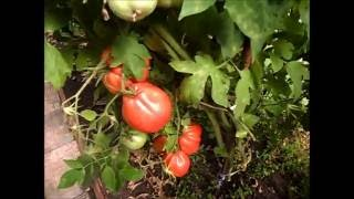 видео Томат Абаканский розовый