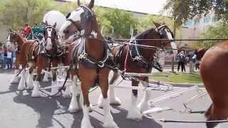 Budweiser Clydesdales in Chandler, Arizona with Ozzie Smith. Commercial Shoot #2. Full 1080p HD.