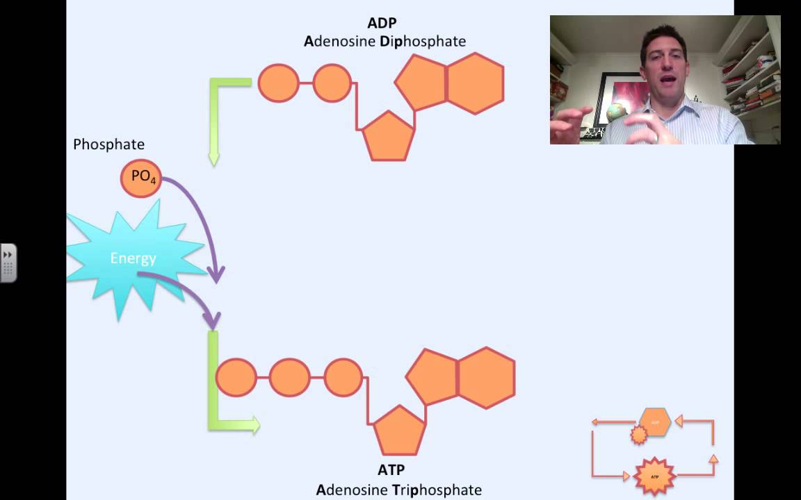 hight resolution of photosynthesis atp and adp cycle