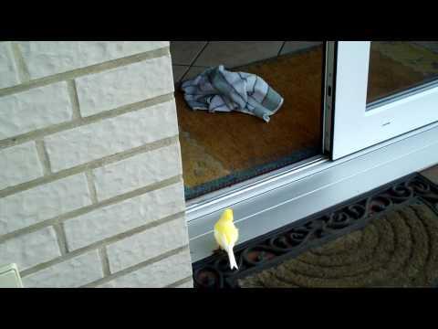 Kanarienvogel Hat Freiflug ...im Garten