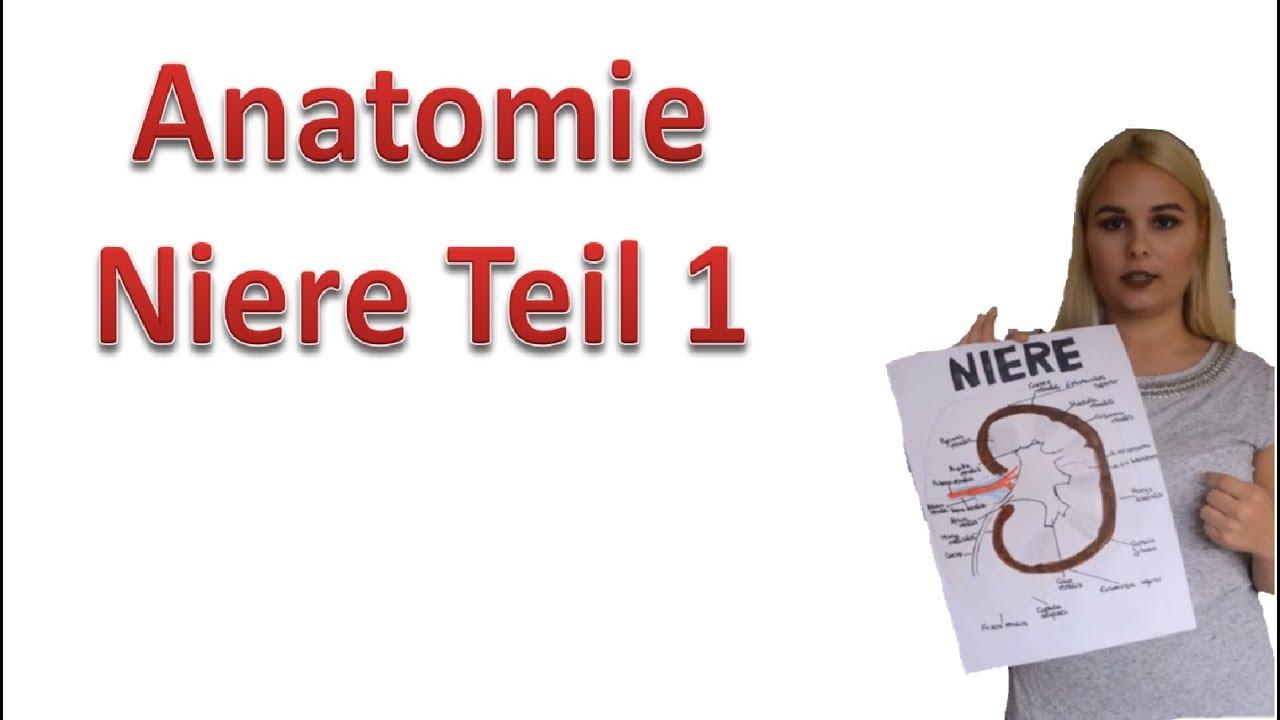 Anatomie der Niere Teil 1/3 makroskopisch I Medlifecrisis - YouTube