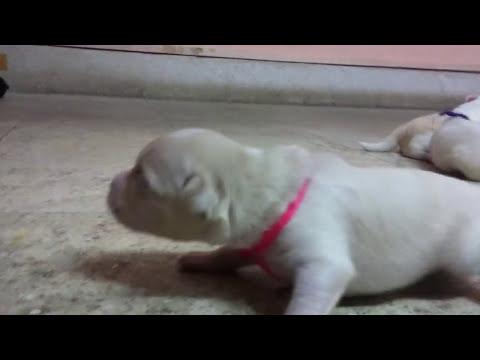 indian spitz | indian spitz puppies |  spitz | puppies | dog