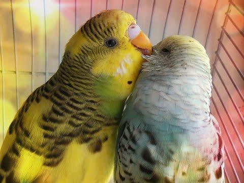 Что вредно, нельзя есть попугаям, чем нельзя кормить