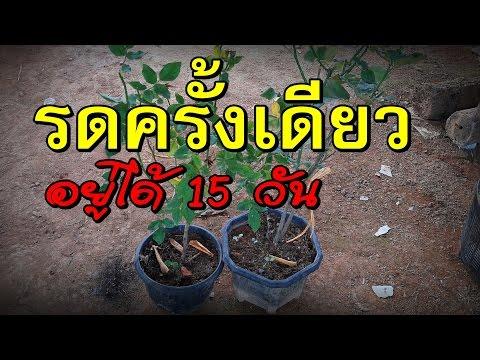 การรดน้ำไม้กระถาง รดครั้งเดียวอยู่ได้นานครึ่งเดือน ง่ายกว่ากระถางแก้มลิง