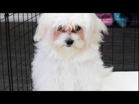Sing   Toy Maltese Puppy in Los Angeles