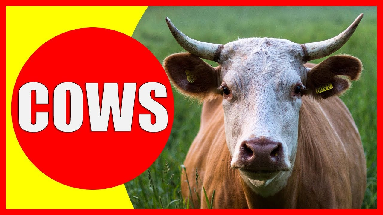 COW VIDEOS FOR KIDS - Facts about Cows for Children, Preschoolers ...