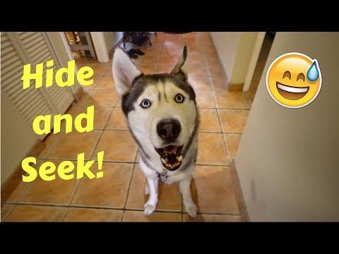 My Husky Plays Hide and Seek!