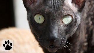 Породы кошек - Корниш рекс. [Cornish Rex (Cat Breed)]