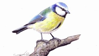 Drawing Time Lapse: Blue Tit