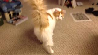The Turkish Van Cat named Only