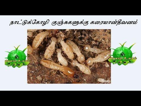 Karayan Theevanam Nattukoligaluku / நாட்டுக்கோழி குஞ்சுகளுக்கு கரையான் தீவனம்