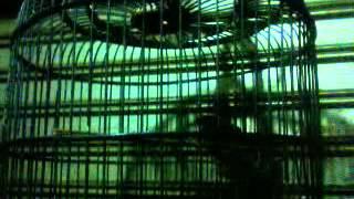 Download Video Burung ciblek marah gacor MP3 3GP MP4