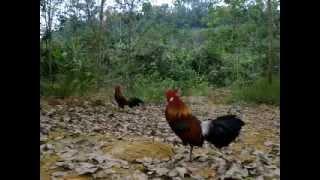 Pikat Ayam Hutan...E5