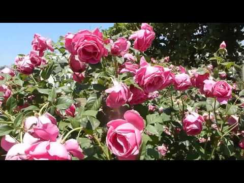 Rose Garden In Huntington Botanical Gardens