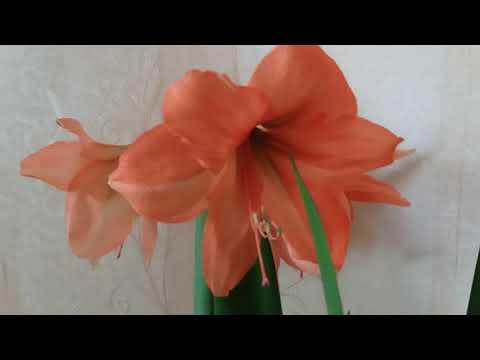 Вопрос: Как выгнать гипеаструм на цветение?
