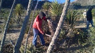 Dia de Trabajo en San Matias cortando  yucca schidigera