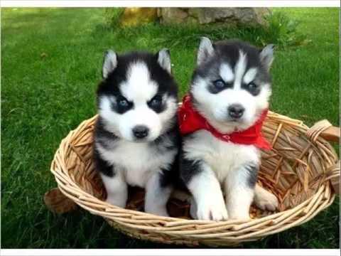 Siberian Husky Siberian Husky Dog Breed Pictures Youtube