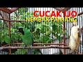 Cucak Ijo Gacor Nembak Bongkar Isian Full Nembak Mancing Lawan Nyahut  Mp3 - Mp4 Download