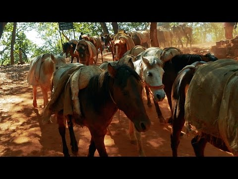Indian Horse Herd at Matheran,Mumbai,India.घोड़ा मुंबई. Horses group.Mare.Foal groups