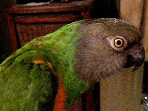 Our 13 Year Old Senegal Parrot On Video
