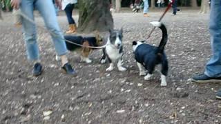 代々木公園にて初めてコーギー・カーディガンの子に出会いました! シル...