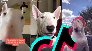 Most Famous Bull Terrier TikTok Compilation | Dogs Of TikTok