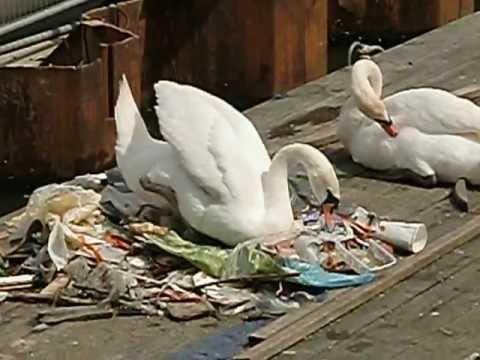 Amsterdam white swans made a nest of garbage in an Amsterdam canal.