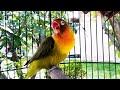 Putarkan Rutin Suara Lovebird Ini Ampuh Bikin Harian Lovebirdmu Tambah Gacor  Mp3 - Mp4 Download