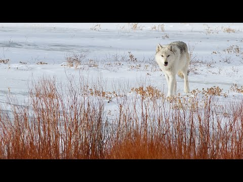 Yellowstone's Winter Wolves