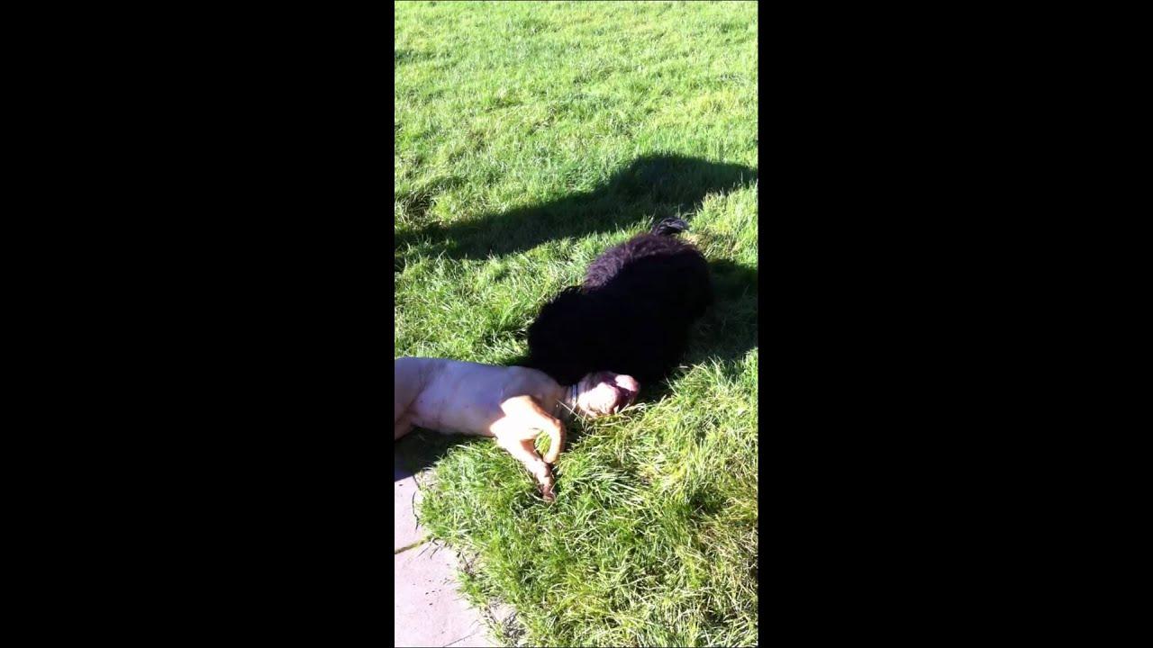 Chien Deau Portugais Portuguese Water Dog Vs Sharpeimov