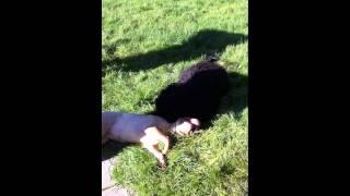 Chien D'eau Portugais (portuguese Water Dog) Vs Sharpei.mov