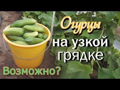 Огурцы на узкой грядке в открытом грунте. Огород на Урале.