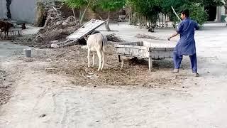 Donkey vs Boy Funny Vines