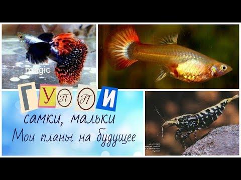 Аквариумные рыбки гурами содержание, размножение, виды