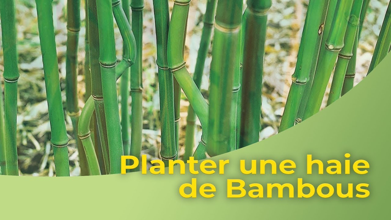 planter une haie de bambous youtube