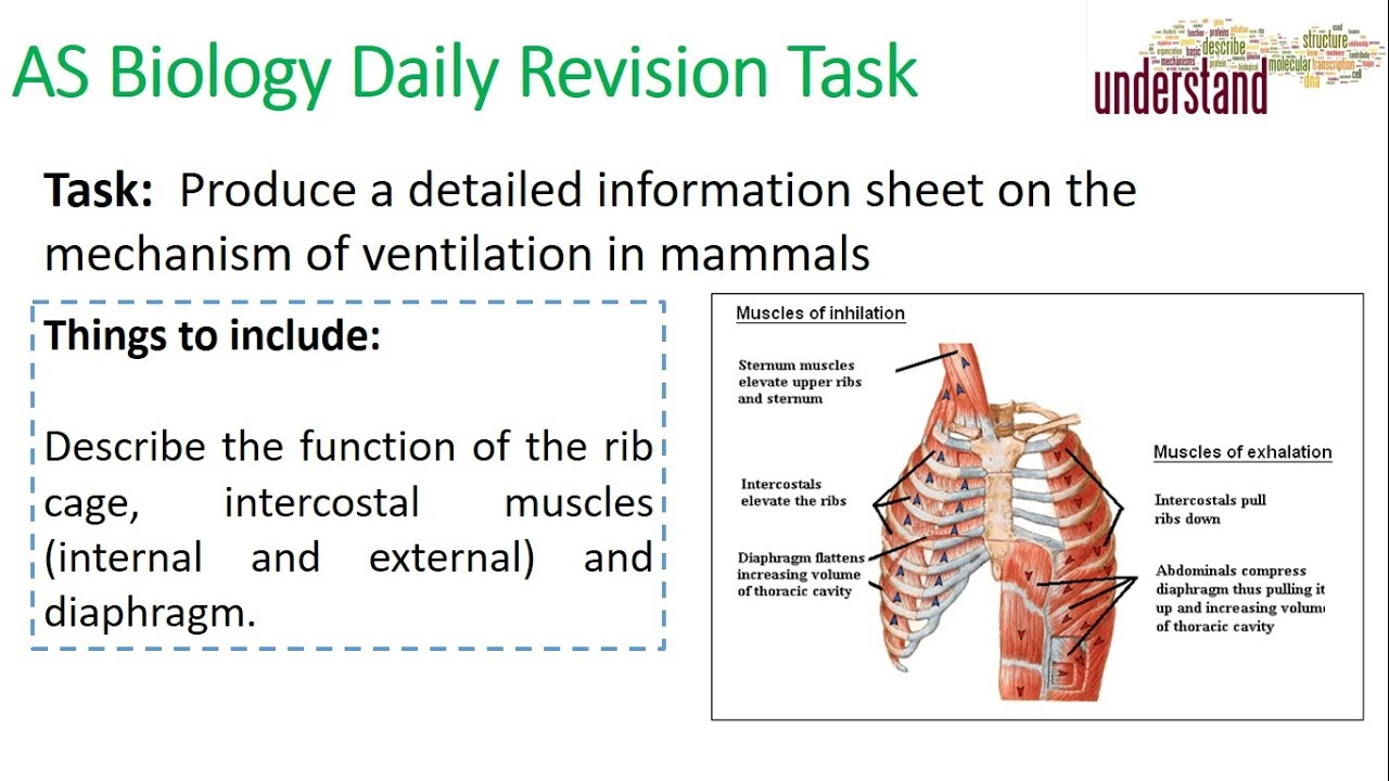 As Biology Daily Revision Task 64 Ventilation Of The Lungs Youtube