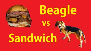 Guilty Dog Ate My Food Video Cute Funny Beagle Pet Videos Lol
