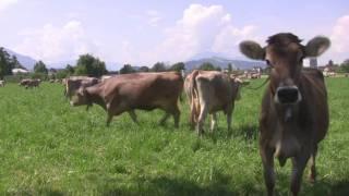 Happy cows on the farm, Zug, Switzerland