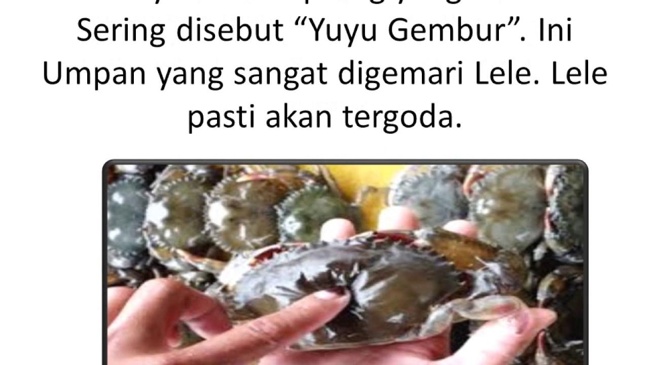 Umpan Mancing Ikan Lele Jitu Istimewa Rahasia Target Babon Part 1 Youtube