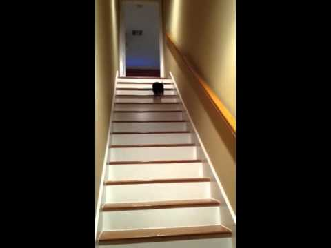 8 Month Old Dachshund Trying To Descend A Staircase